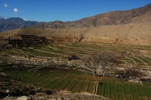Opium poppy field in Afghanistan, by Fieldmedic